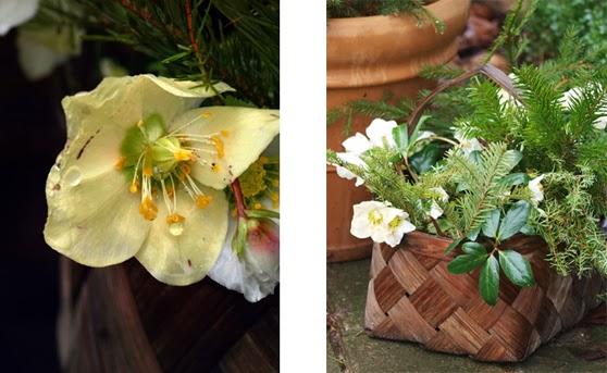 Blomster i haven om vinteren. Kurv med blomster. Hvide Helleborus med sne på