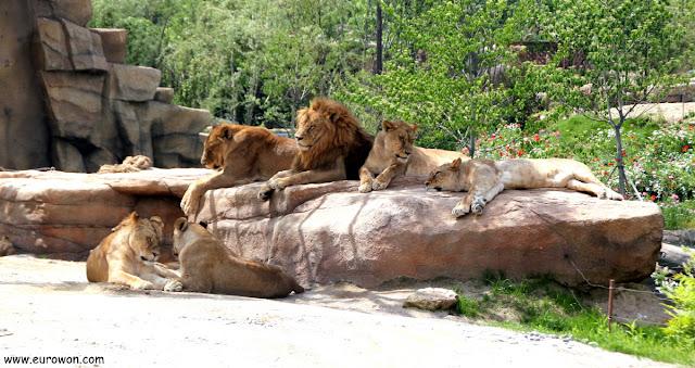 Grupo de leones dormitando en el parque de atracciones Everland de Corea