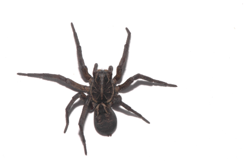 black house spider laid out for id shots one leg is missing spiders