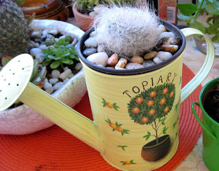 Cephalocereus senilis  - Old Man Cactus  [in my gadren]