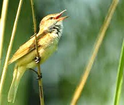 Foto Burung Cucak Tembak Jantan