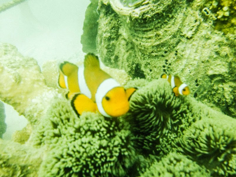 hundred-islands-alaminos-pangasinan-nemo-clown-fish