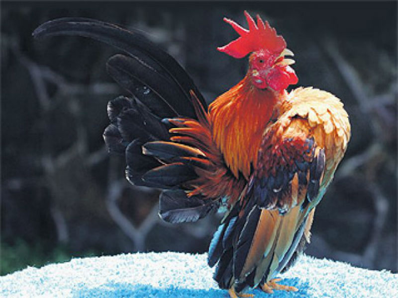 gambar ayam kate