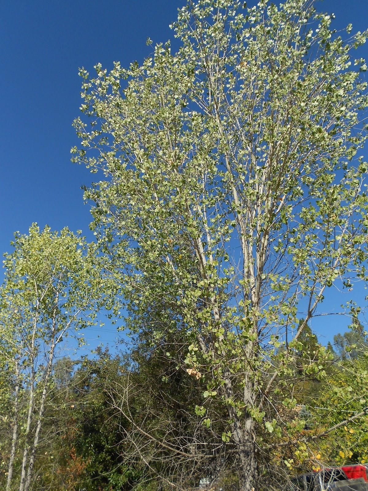 autumn season cottonwood tree