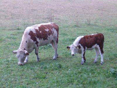 أجمل صور حيوان البقرة photo vache