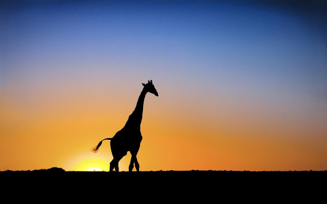 Wallpaper with a silhouette of a giraffe at sunrise