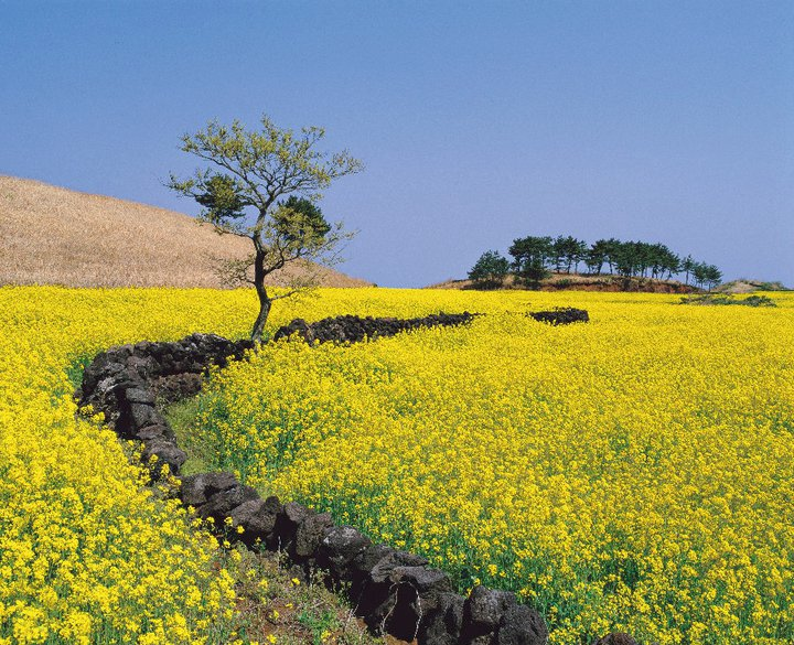 Jeju Island, though a relatively small island, boasts an impressive 3