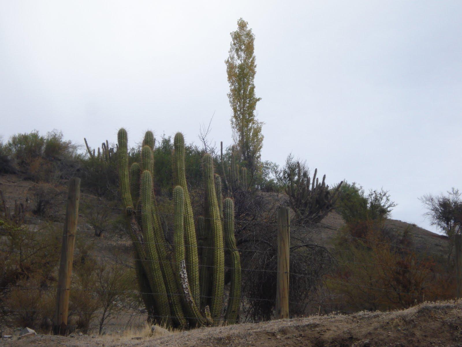 Nova specie cactus columnares a la salida de santiago for Cactus santiago