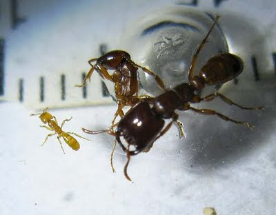 The largest and smallest worker of Dorylus laevigatus