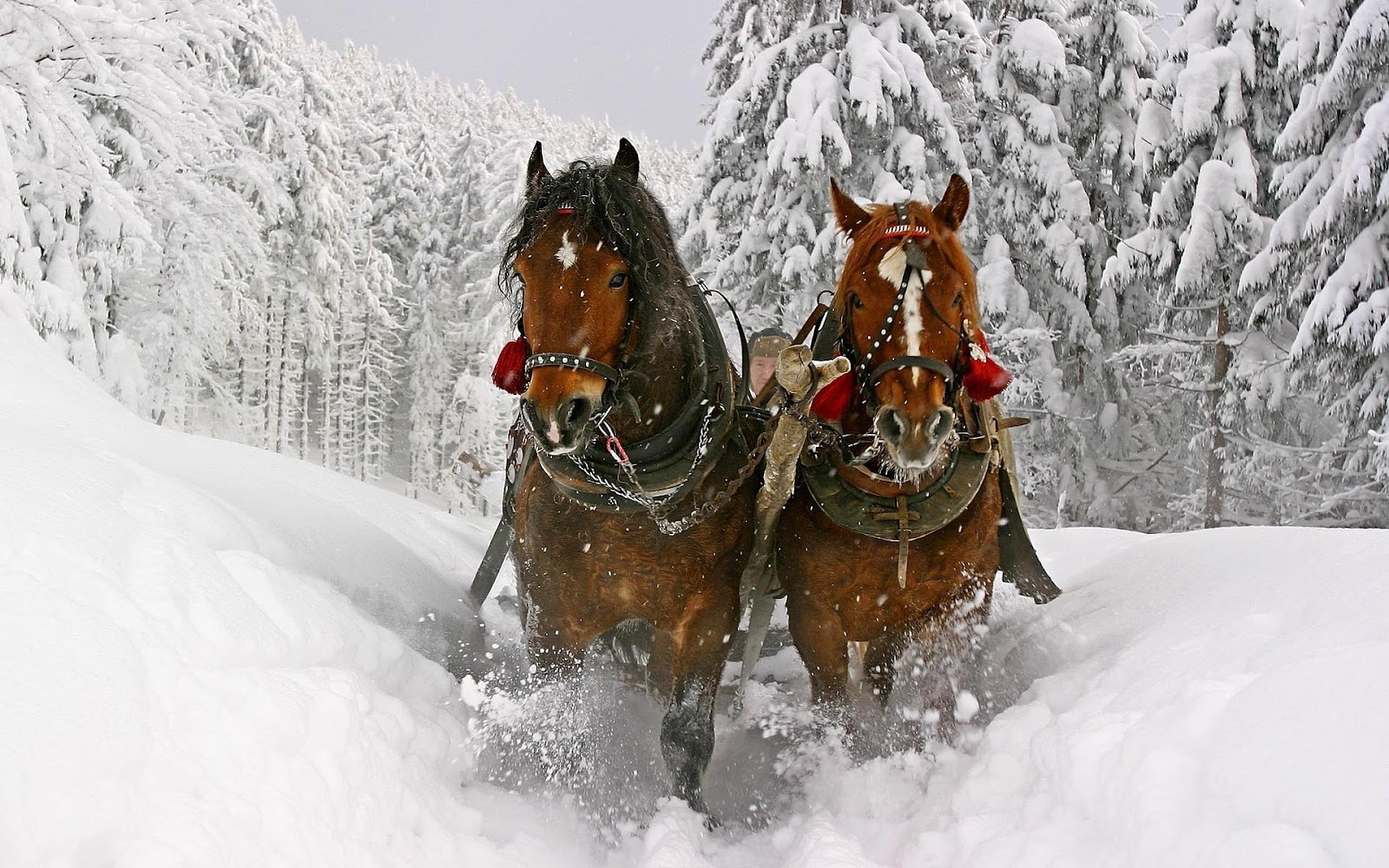 Simple   Wallpaper Horse Winter - animal-wallpapers-two-brown-horses-running-through-the-snow-hd-horse-wallpaper  Pictures_93628.jpg
