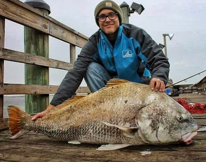 Big fishes of the world drum black pogonias cromis for Black drum fishing