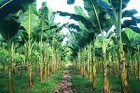 Cara budidaya pohon pisang