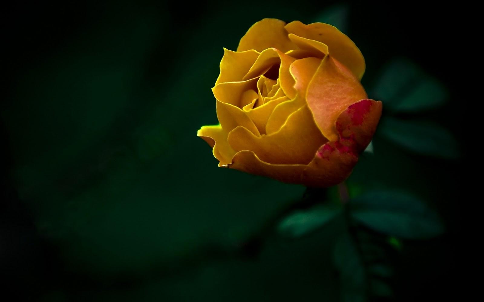 http://4.bp.blogspot.com/-whh7cfA1n_4/TyQG7ACVT6I/AAAAAAAAAMY/_rBQt8xicm8/s1600/Yellow+Rose+HQ+Wallpaper.jpg