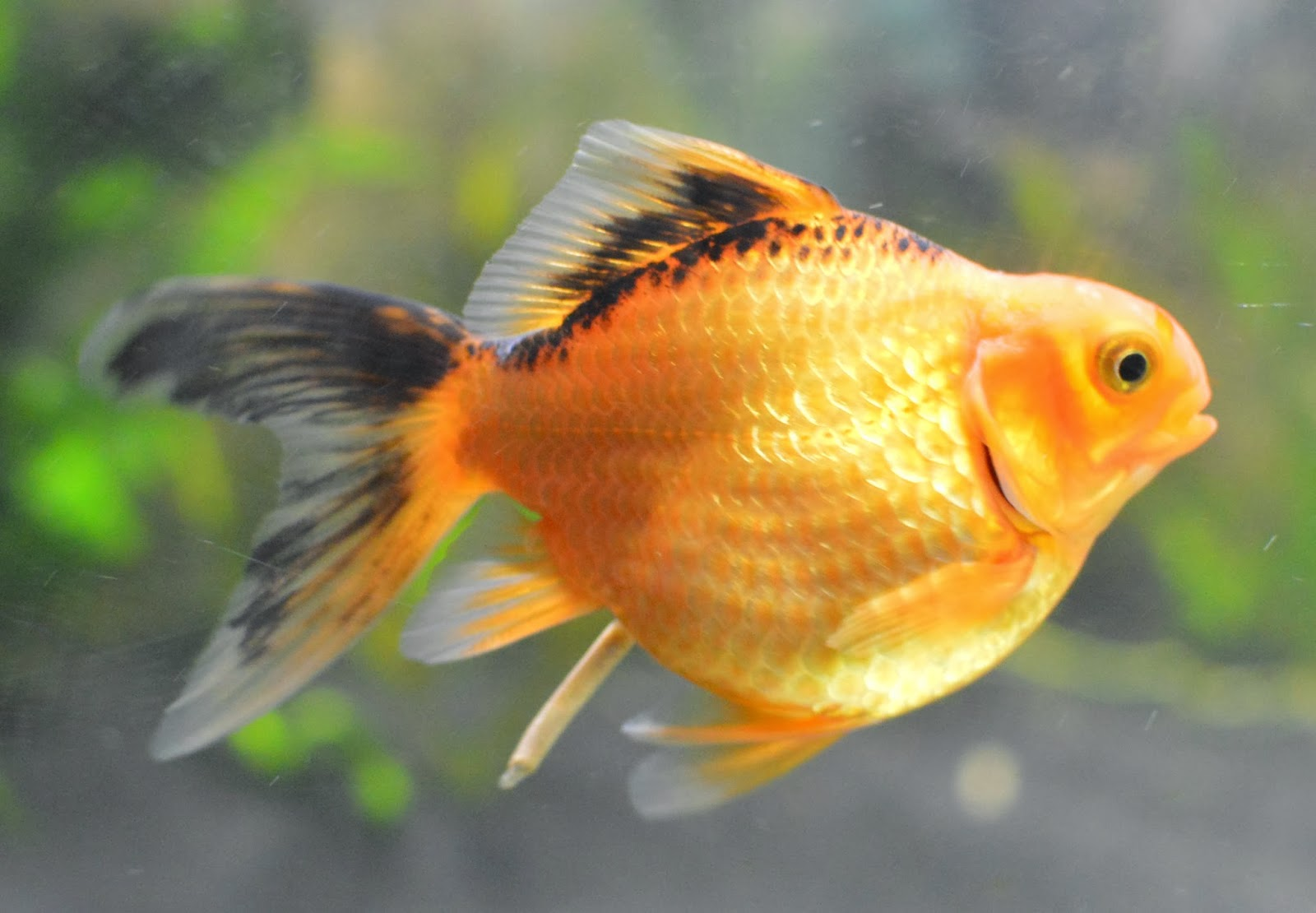 Misuzus Fancy Goldfish