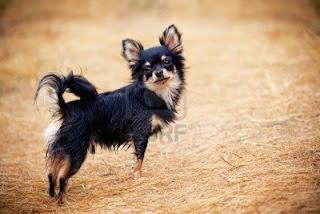 Giống chó nội Việt Nam
