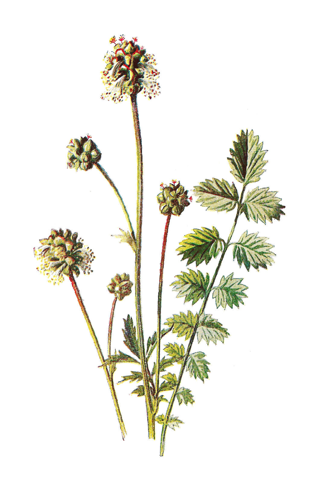 ... Images: Free Flower Graphic: Wildflower Clip Art of Salad Burnet