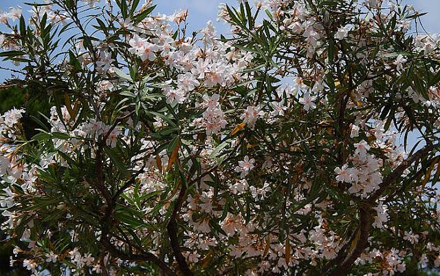 White oleander tree crown