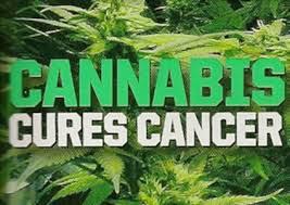 cannabis x câncer