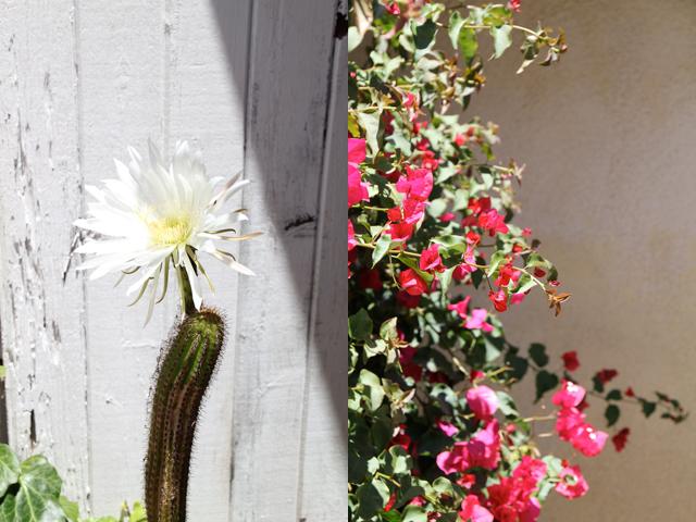 Cactus Flower + Bougainvillea