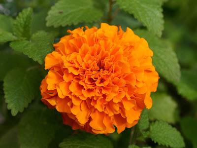 ... Marigold Flowers Desktop Backgrounds, MarigoldFlowers Photos, Marigold