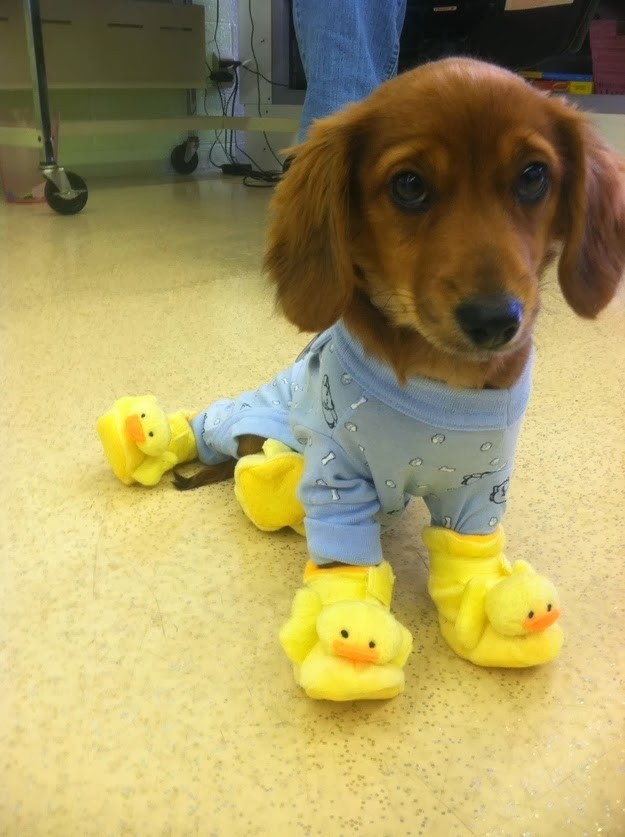 this puppy in a onesie with duck slippers.