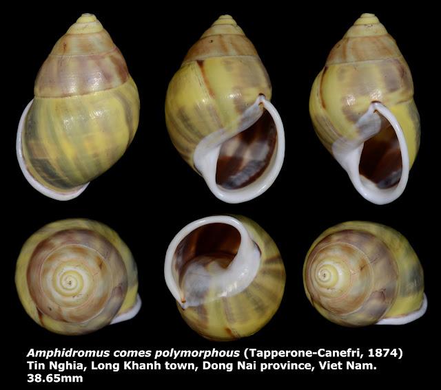 Amphidromus comes polymorphous 38.65mm