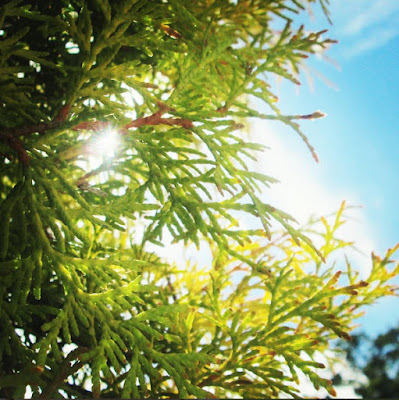 Evergreen conifer tree with the sun shining through the leaves in autumn or fall.
