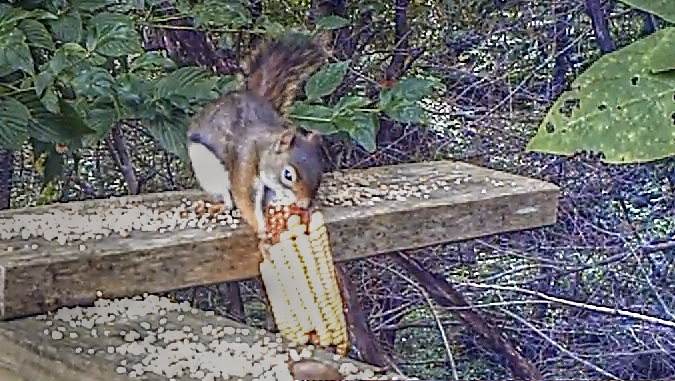 Red Squirrel eating nuts and corn