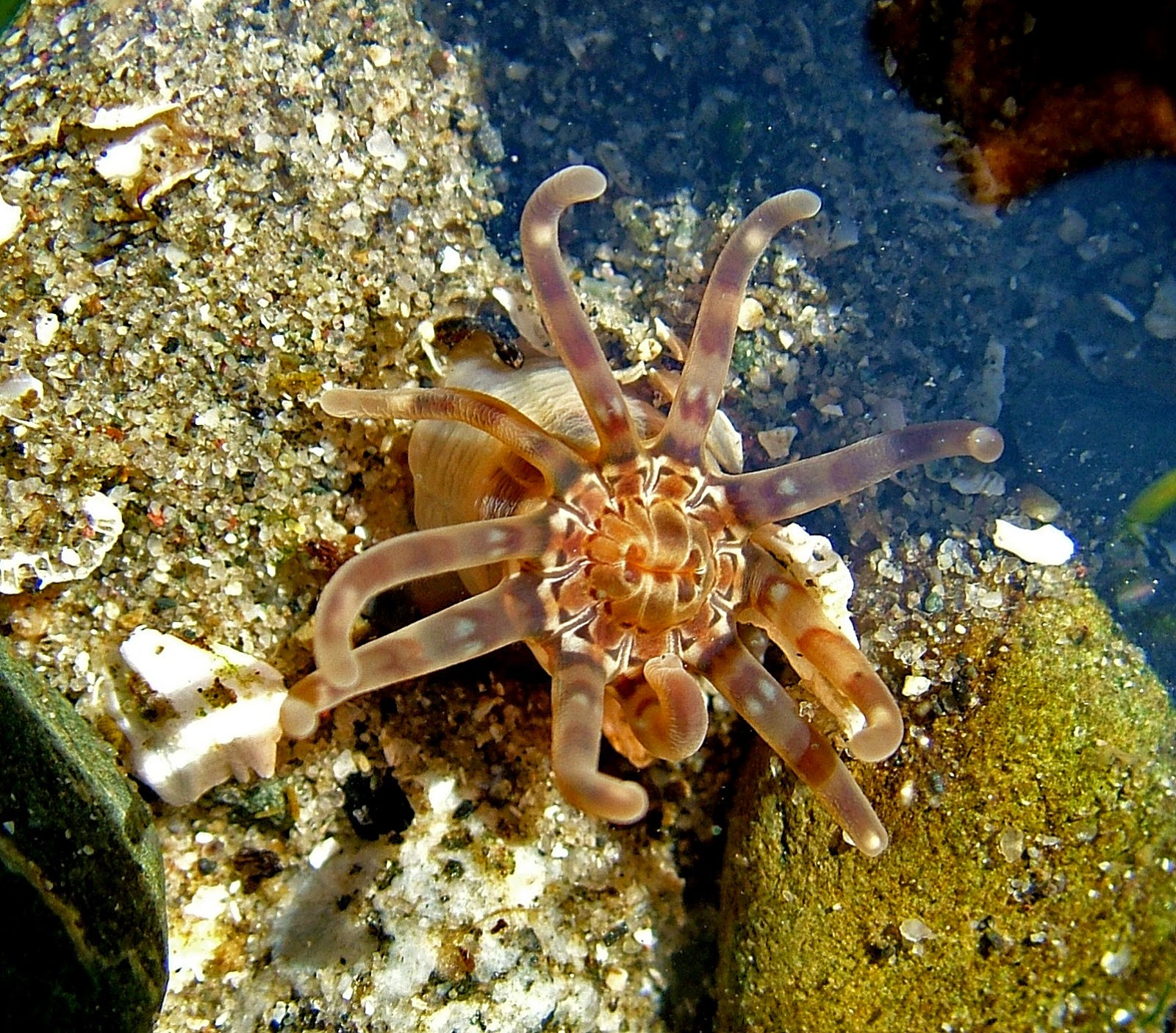 Buzz S Marine Life Of Puget Sound Random Collection Of