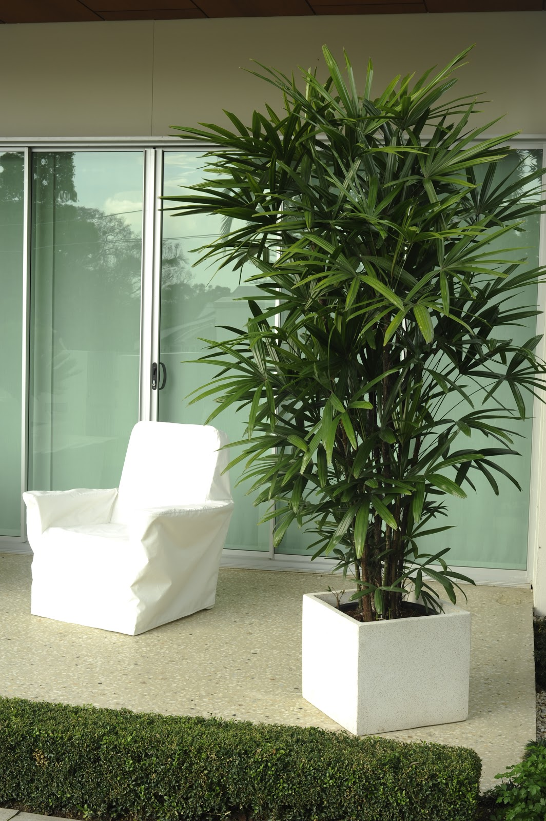 Rhapis palm for Pictures of indoor palm plants
