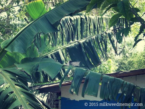 Top, wind-torn leaves of banana tree in Los Fresnos, Texas