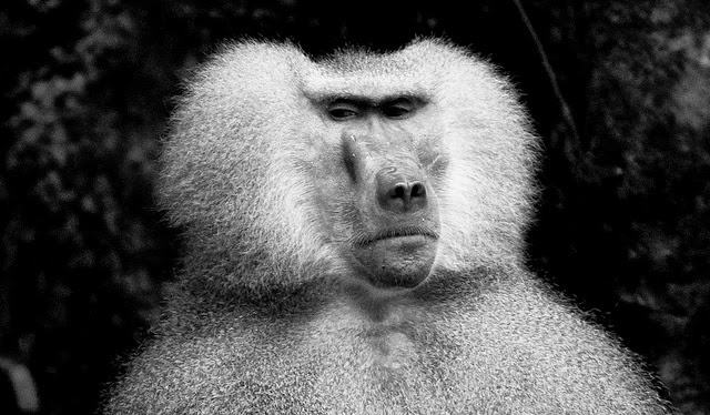 Singapore+Zoo+Hamadryas+Baboon