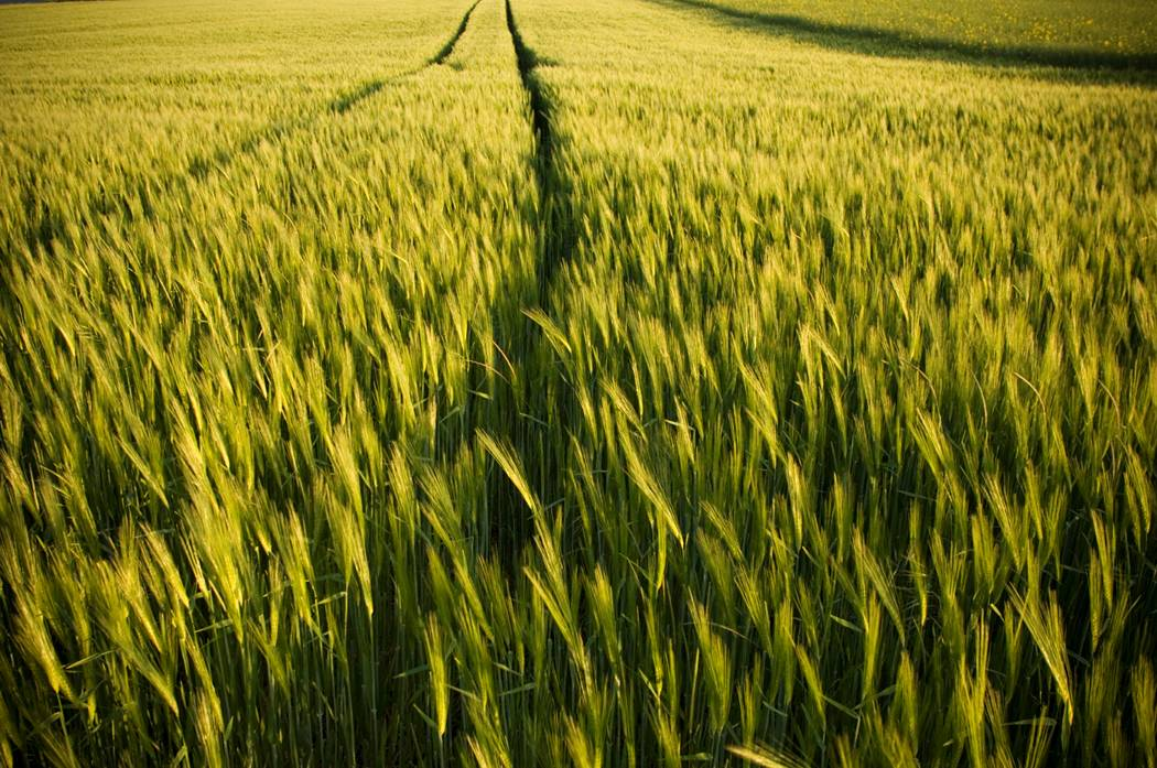 Jesus will separate the wheat from the tares at his judgment seat