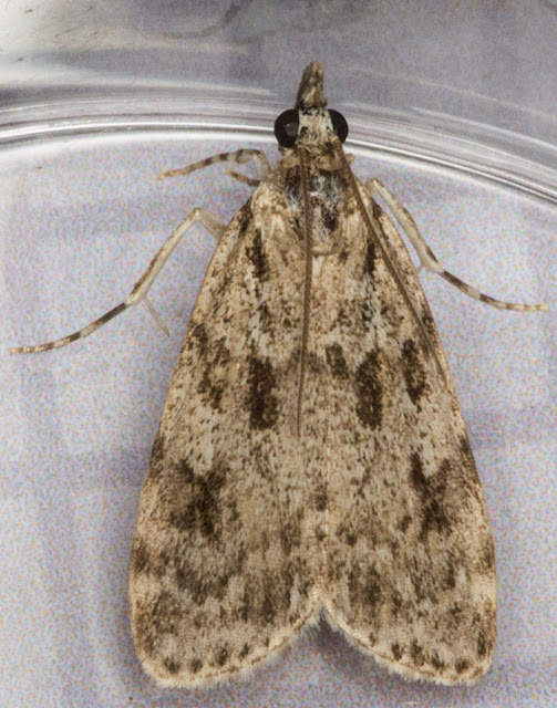 Scoparia ambigualis.   Moth that came to my window on 19 July 2012.