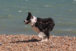 border collie dogs pictures
