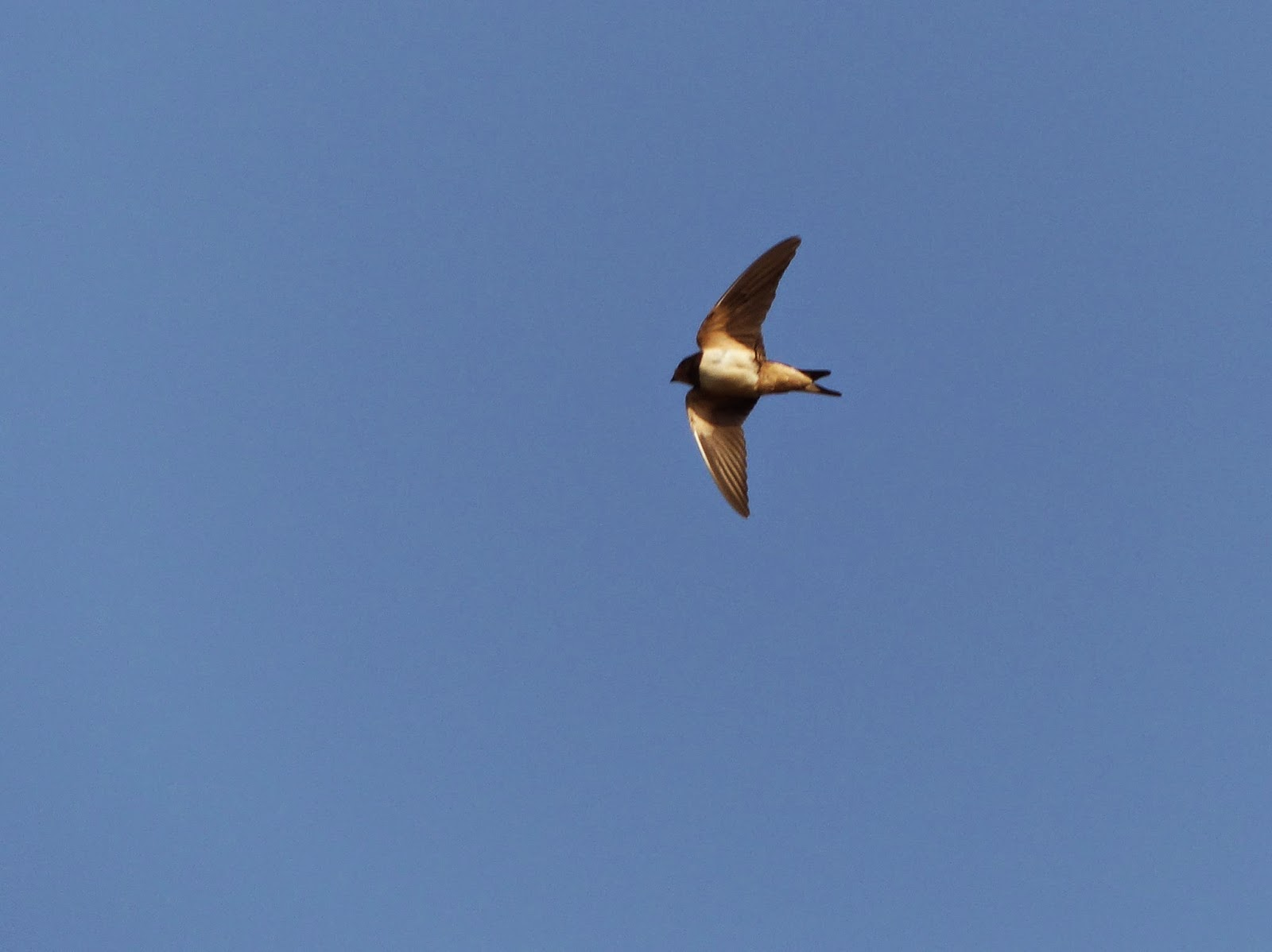 Swallow sighting October Sussex