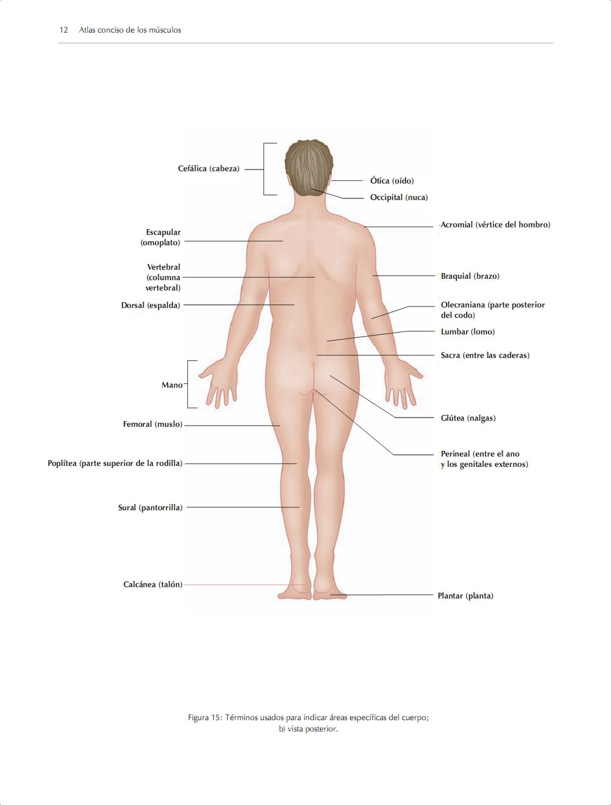 Famoso Vista Posterior Cuerpo Humano Ilustración - Imágenes de ...