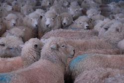 sheep!sheep!sheep!
