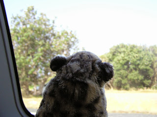 Spotty looking out the window