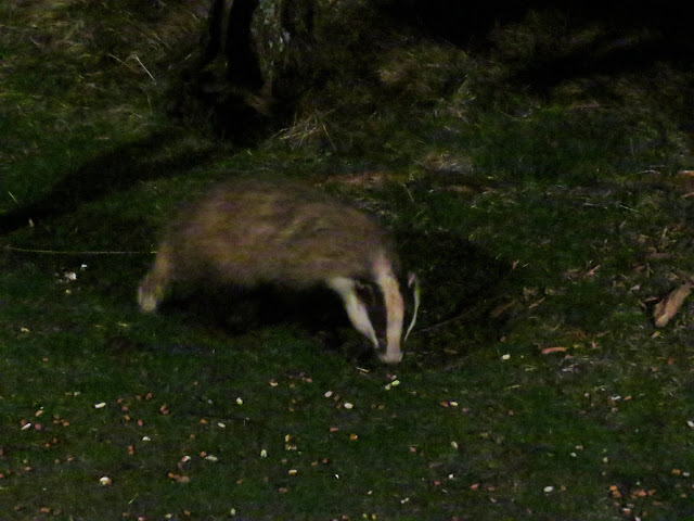Badger, Scotland