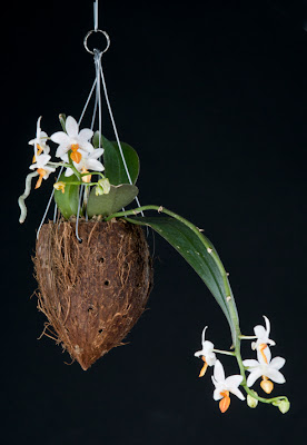 orchid potted in a coconut shell