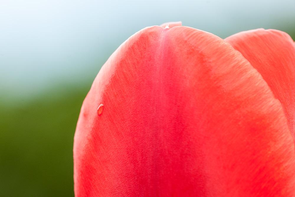tulipano sigma 180 macro canon 40d