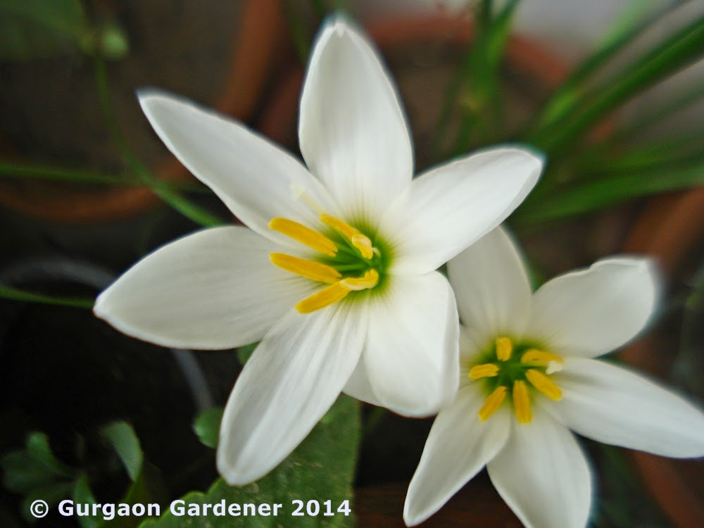 Gurgaon gardener white flowers for your garden fairy lily is a half hardy bulbous plant bearing linear hollow strap shaped or grass like leaves the solitary flowers consisting of 6 pointed petals mightylinksfo