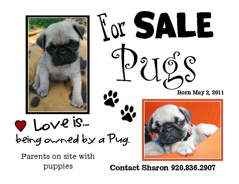 kim s northwoods discoveries pug puppies for sale