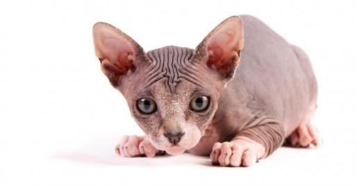 10 Kucing Ras Termahal Di Dunia All Software Game And
