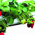 IRLA Symposium - Presentation on FraoulaBest (hydroponic strawberry) System 26-28/11/2014
