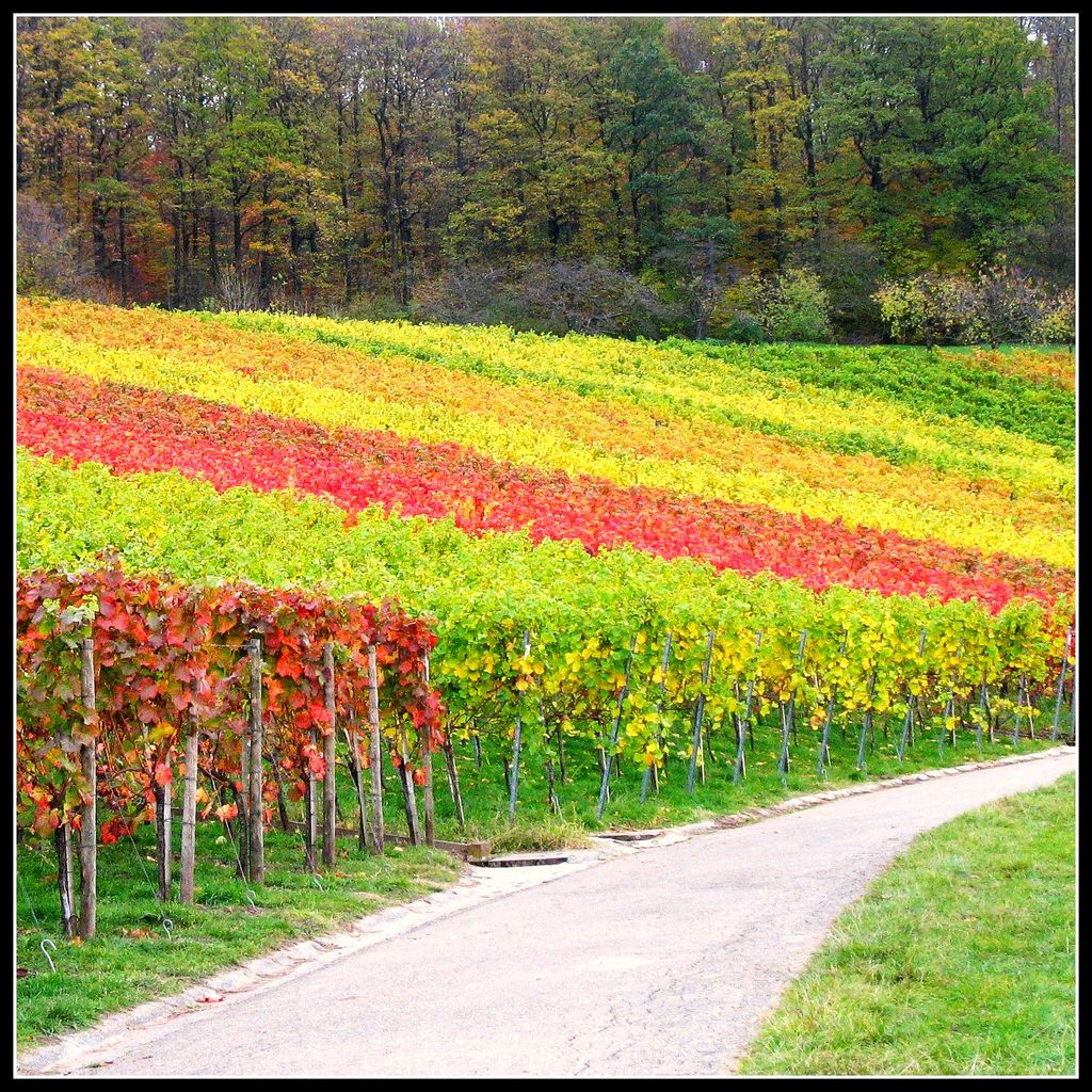 10. Last View at the Vineyard - Fall Landscape in Germany