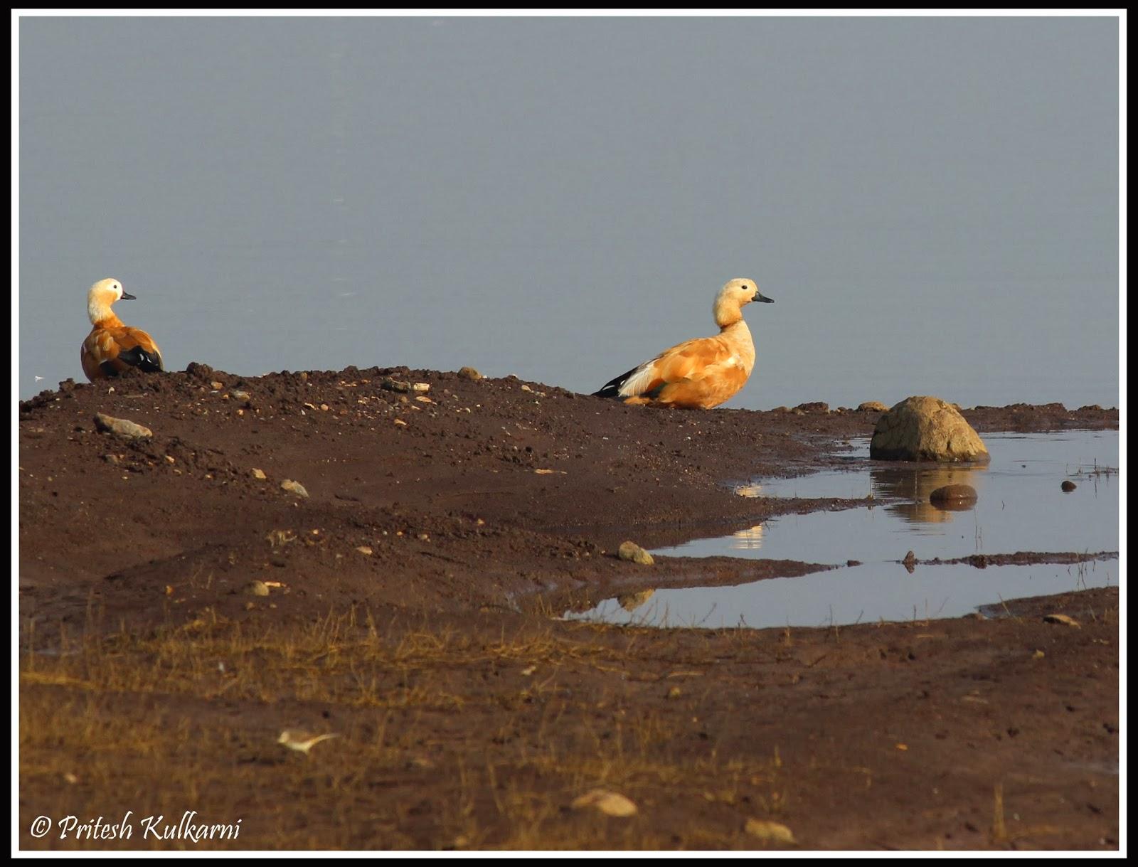 Brahmin Duck
