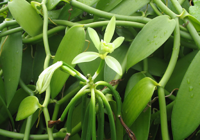 Tumbuhan Obat Vanili yang Berkhasiat dalam Mengobati Pusing