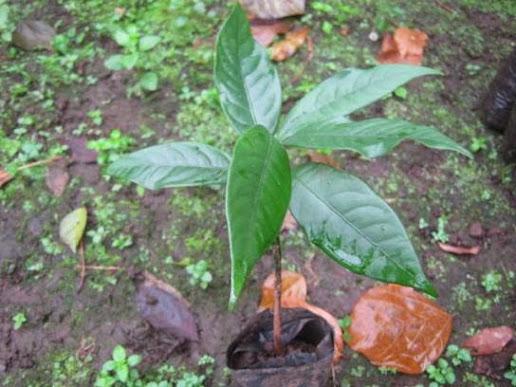 Bibit pala umur 4 bulan / 6 helai daun